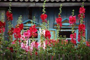 Багаторічні квіти - мальва