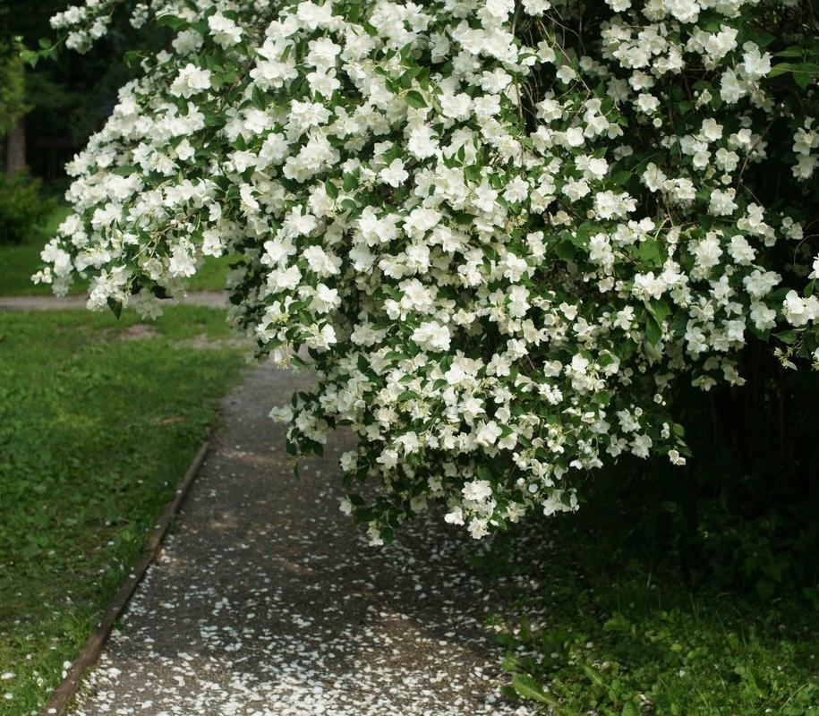 Садовий жасмин, або Чубушник (Philadelphus)