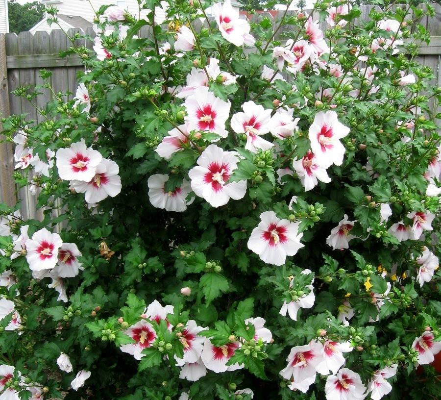 Гібіскус сірійський (Hibiscus syriacus)