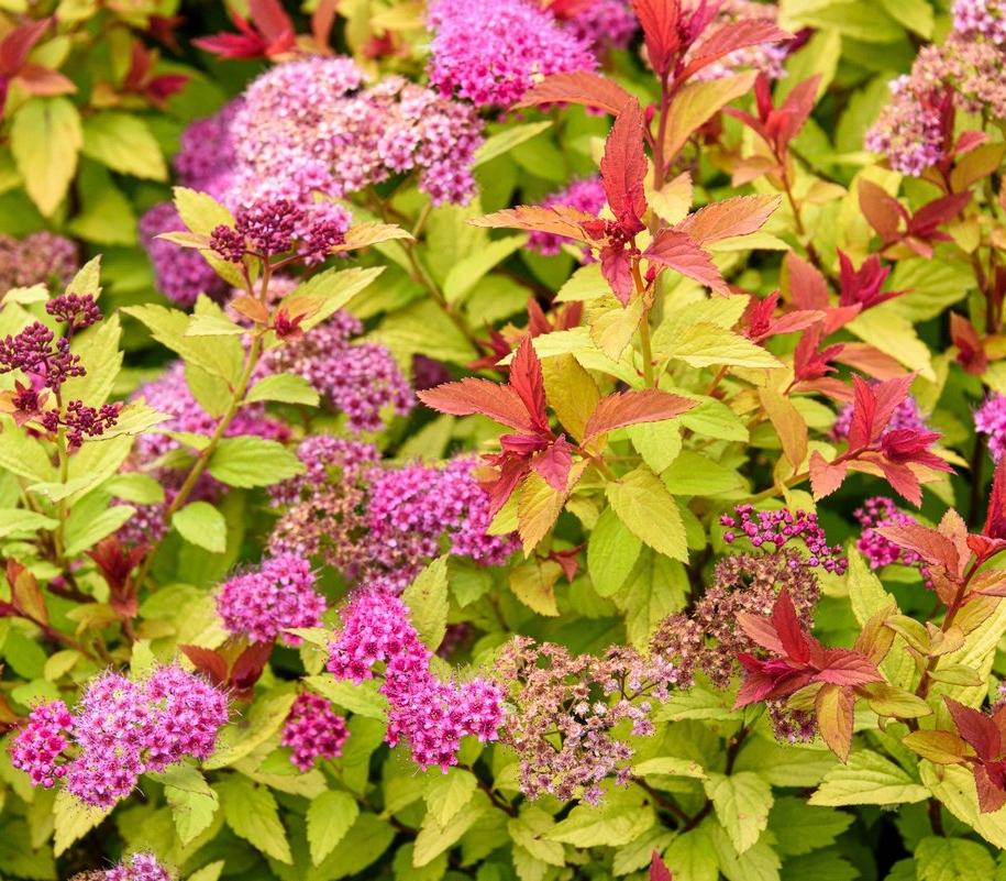 Спірея японська (Spiraea japonica)