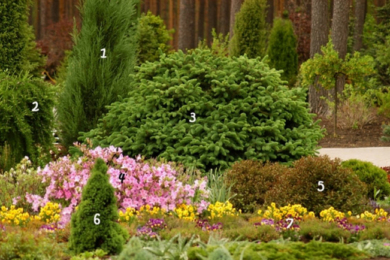 1. Ялівець скельний 'Blue Arrow' 5. Вейгела квітуча 'Purpurea Nana' 2. Модрина європейська 'Pendula' 6. Ялина канадська 'Conica' 3. Ялина шорстка 'Compacta' 7. Віола, братки 4. Рододендрон пукханскій