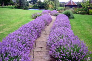 Між плитами чи камінням садових доріжок можна вирощувати духмяні прованські трави