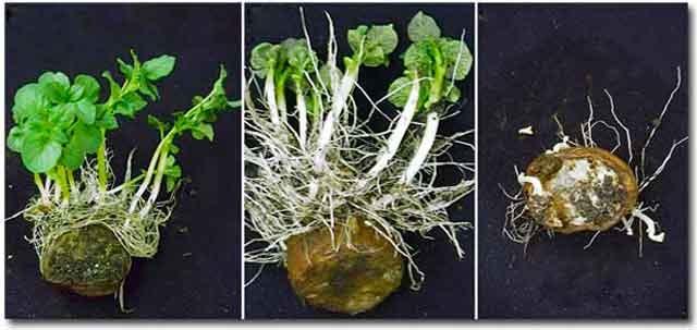 розмноження картоплі картинка 1