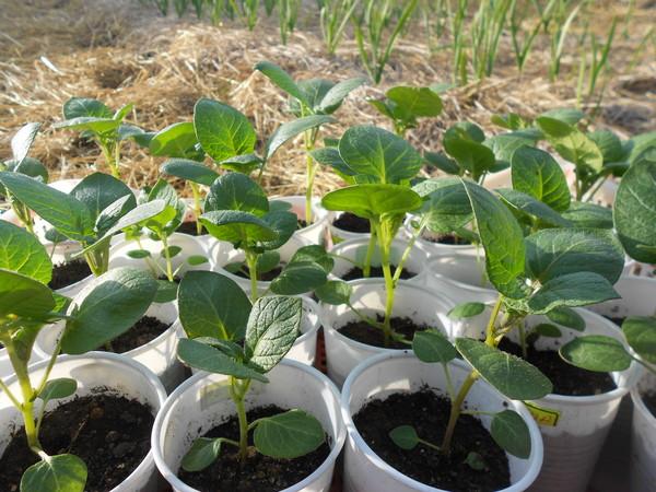 розмноження картоплі картинка 2