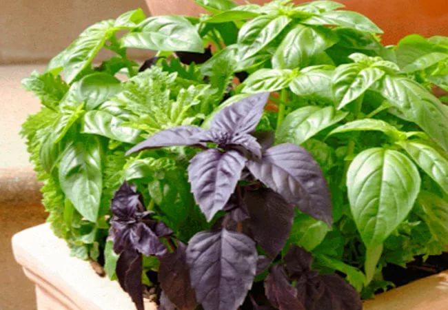 базілік вирощування на балконі картинка