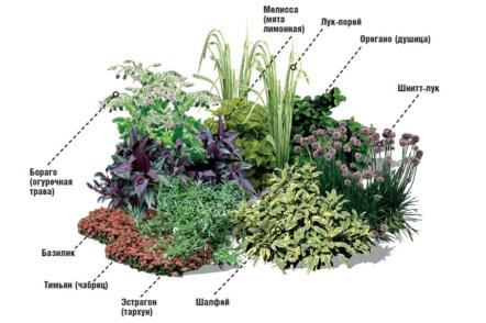 Прованські трави — вирощування на грядках