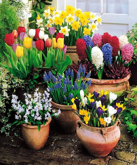 весняні цибулинні в горщиках фото