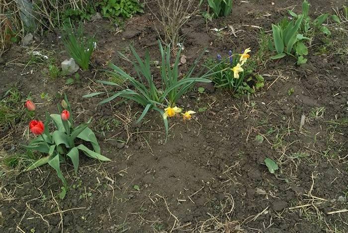 Коли вже виділила місце під квітник (це було ранньою весною), пересадила туди весняні цибулинні, які на ту пору вже повилазили по всьому садку (тюльпани, нарциси, крокуси)