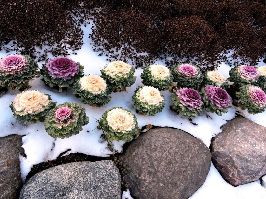 декоративна капуста взимку зображення