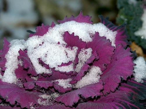 декоративна капуста зимою зображення