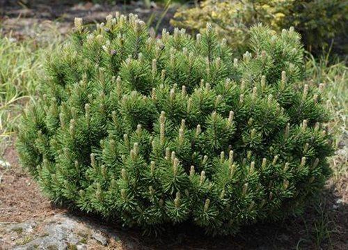 сосна гірська Pinus mugo зображення