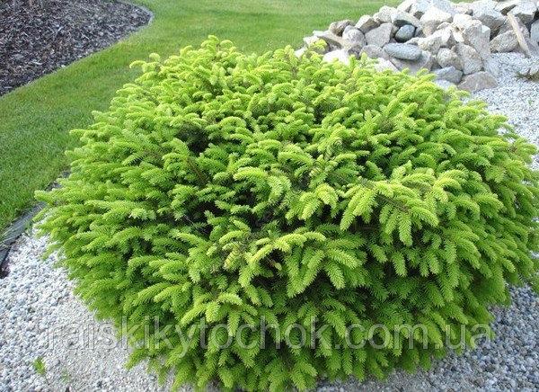 Ялина звичайна Picea abies Nidiformis зображення