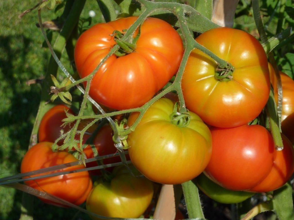 pomidory-01-1024x768-2358005