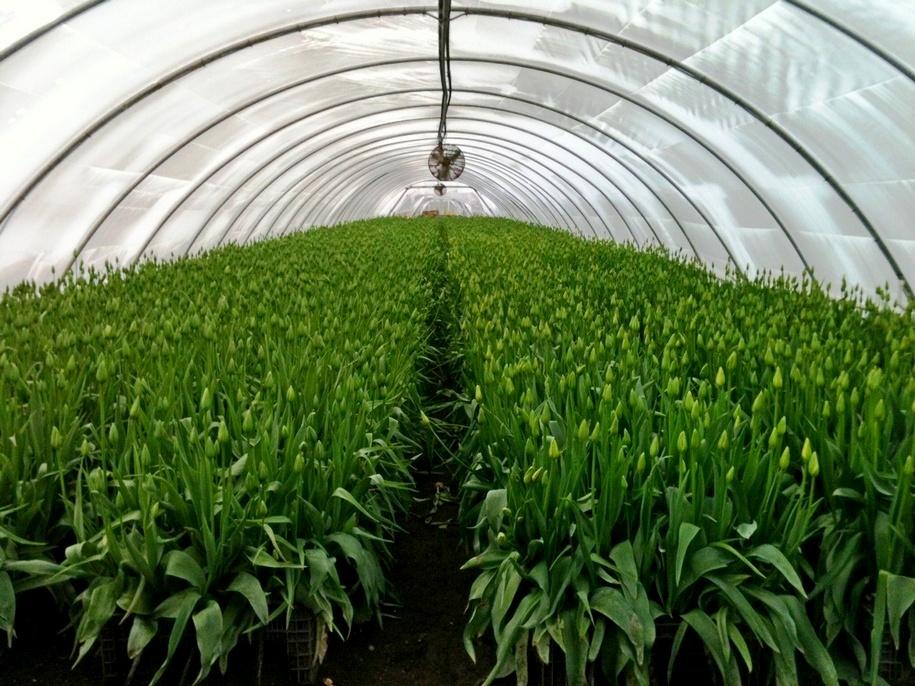 Вирощування тюльпанів в теплиці