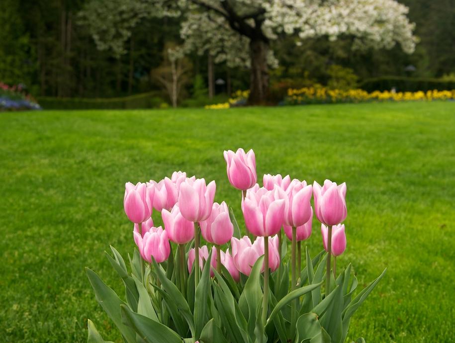 Як вирощувати тюльпани — на клумбі, вдома, в теплиці