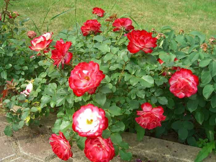 бордюр з троянд