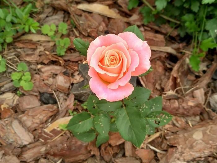 Чим раніше ви висадите навесні троянди, тим швидше вони приживуться і порадують пишнішим і довшим цвітінням вже в перший сезон