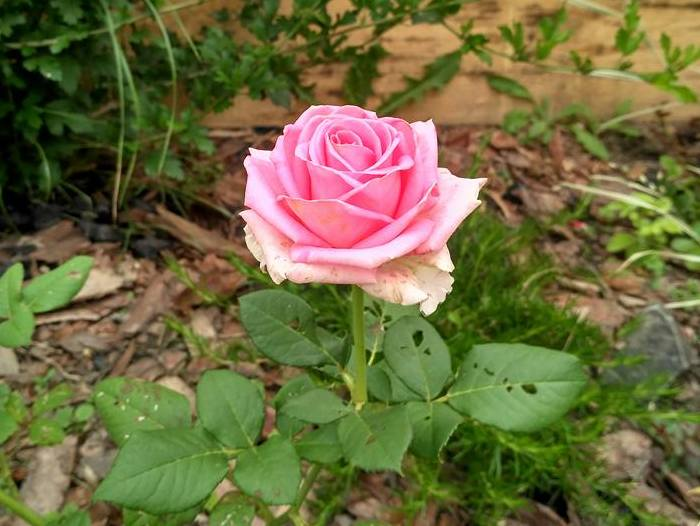 Троянда, посаджена в кінці червня, зацвіла вже в серпні