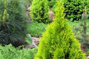 Коли садити хвойні рослини в саду