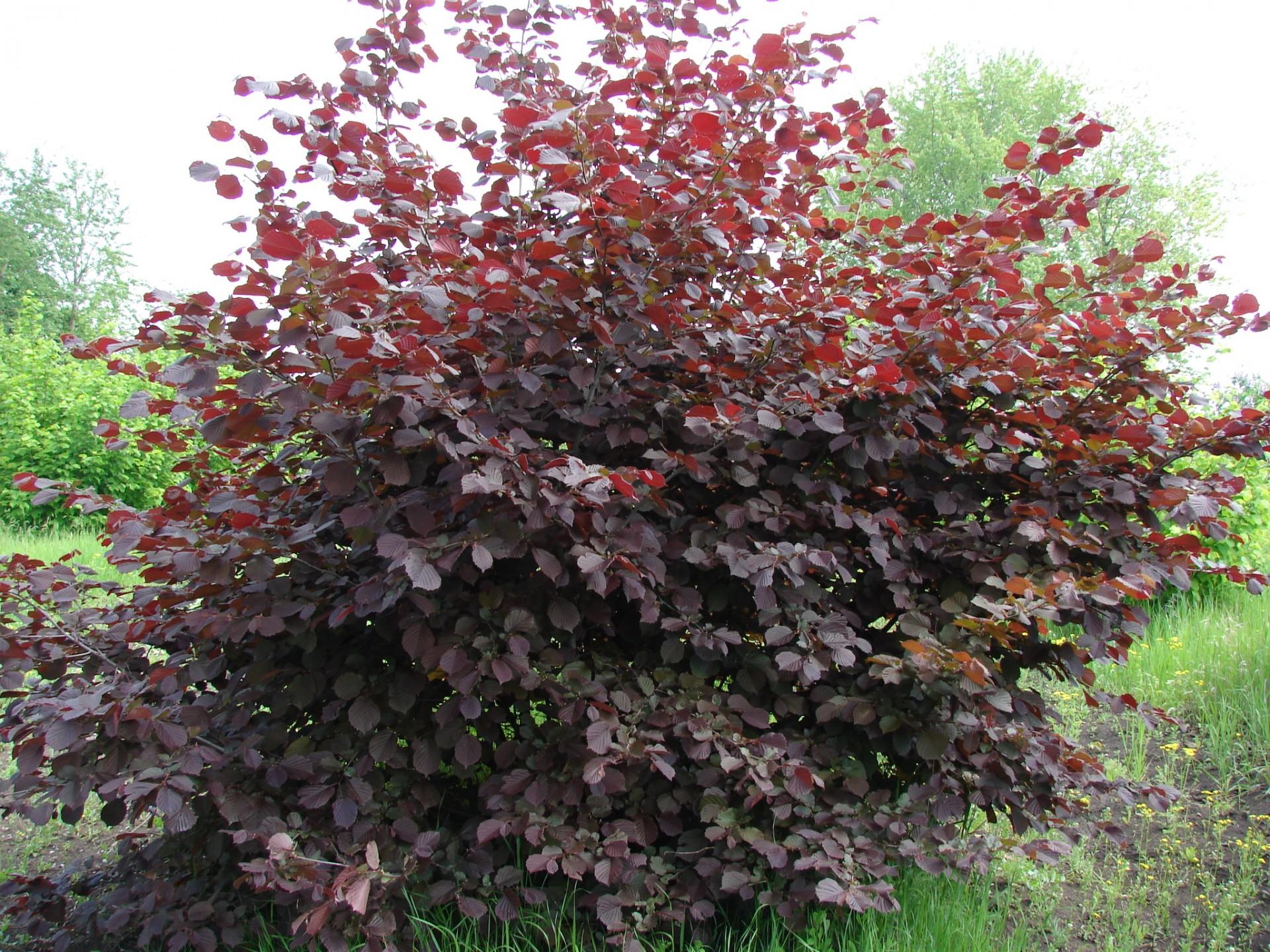 кущ фундука з червоним листям