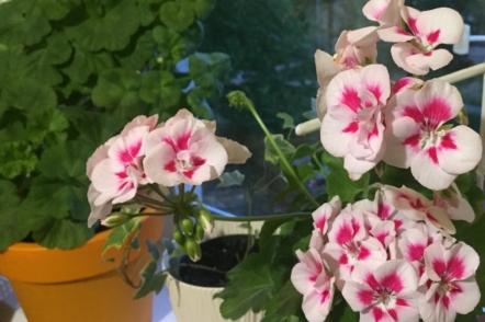 Пеларгонія на підвіконні – секрети тривалого цвітіння