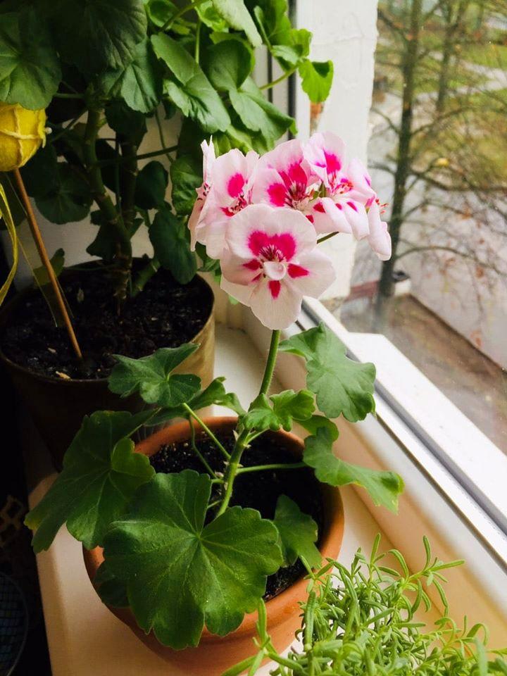 Вкорінена з черенка влітку пеларгонія вже на початку листопада цвіла