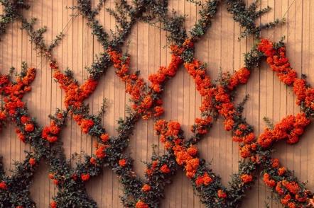 Знайомтеся - вічнозелений декоративний кущ піраканта