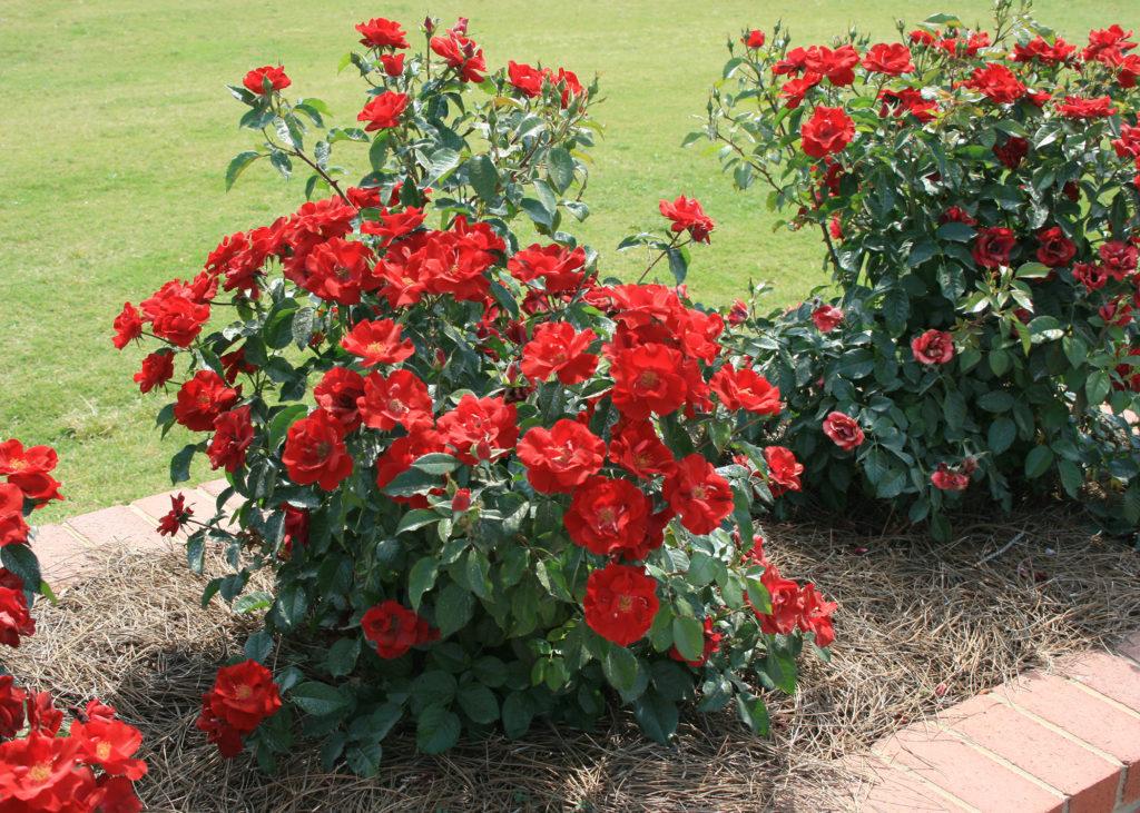 roses-01-1024x731-6942848