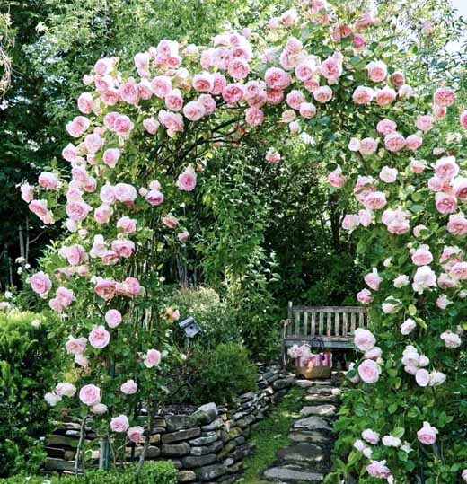 троянда плетиста