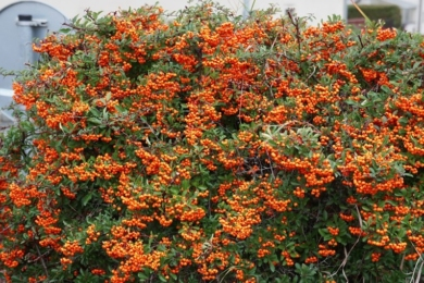Піраканта вузьколиста «Оранж Глоу» (Pyracantha angustifolia orange glow)