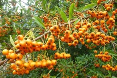 Піраканта вузьколиста «Голден Шарм» (Pyracantha angustifolia golden charmer)