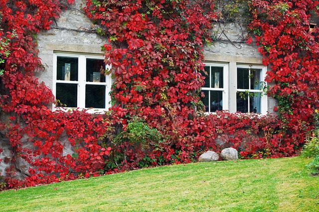 Виноград Вічі - Чудо Світу у вашому саду