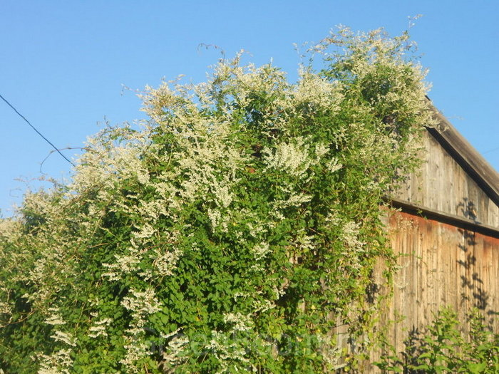 горець бальджуанський цвіте