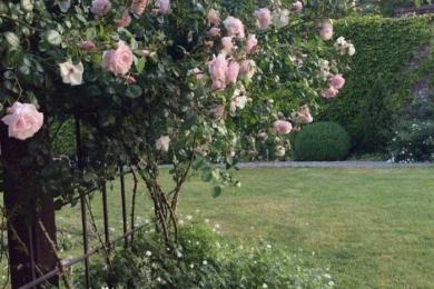 троянда на опорі