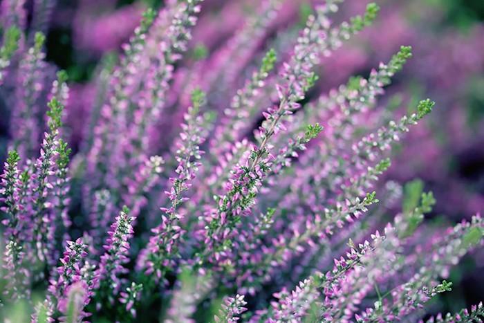 верес фіолетовий