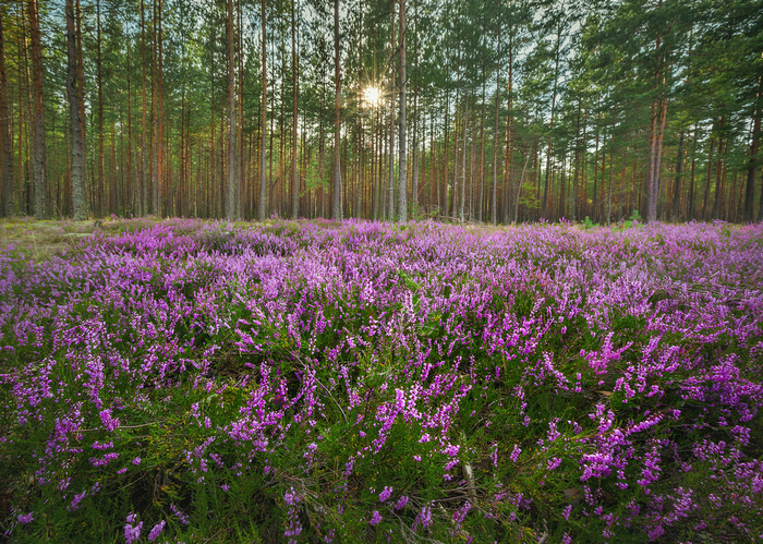 Верес на галявині в лісі
