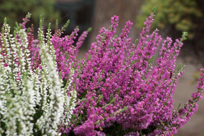 Верес звичайний - вирощування в саду