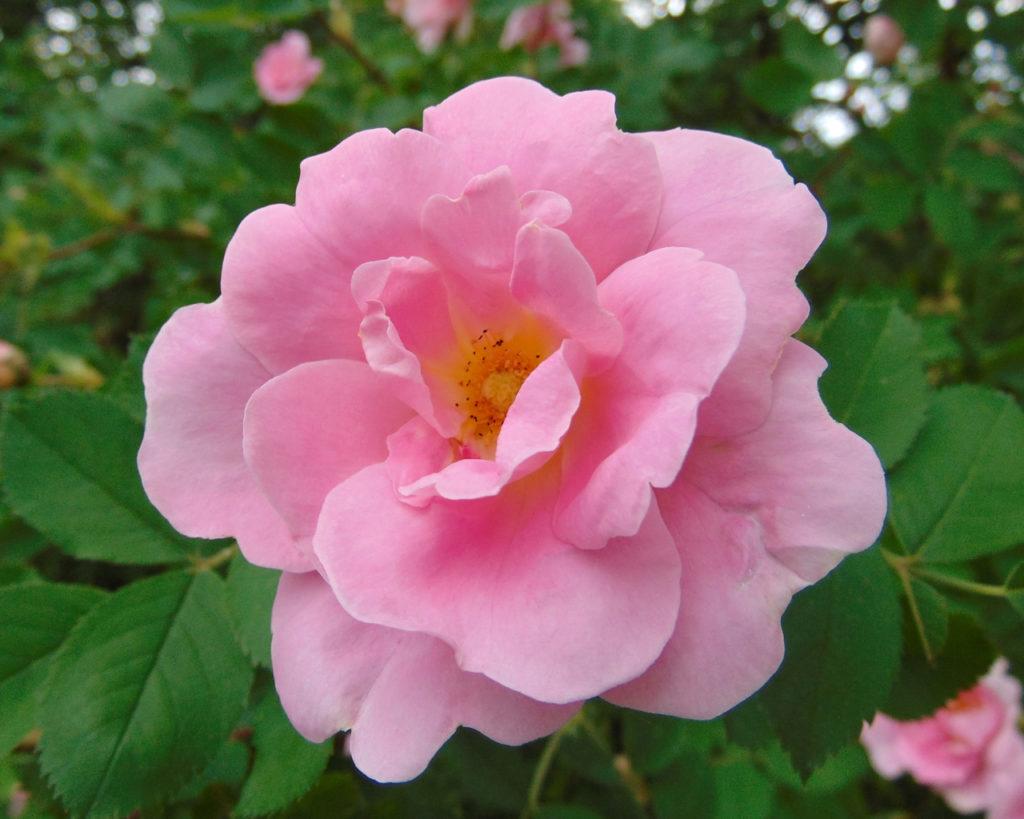 Зимостійка троянда Prairie Youth