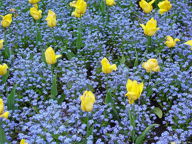де садити тюльпани фото
