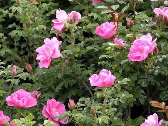 Зимостійка троянда Jens Munk
