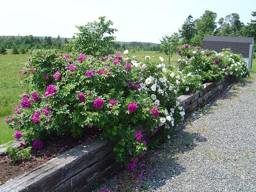 Видова троянда - окультурена шипшина (роза-ругоза)