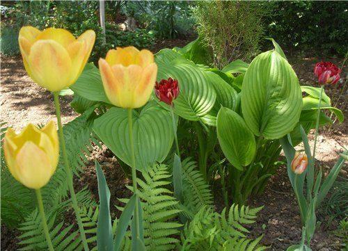 що посадити поряд з тюльпанами фото
