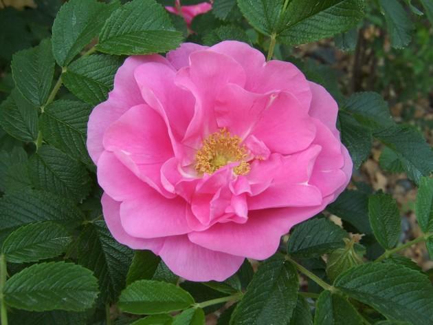 Троянда зморшкувата
