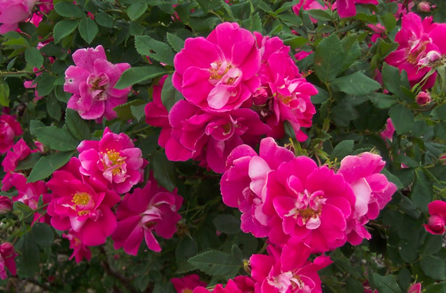 Зимостійка троянда William Baffin