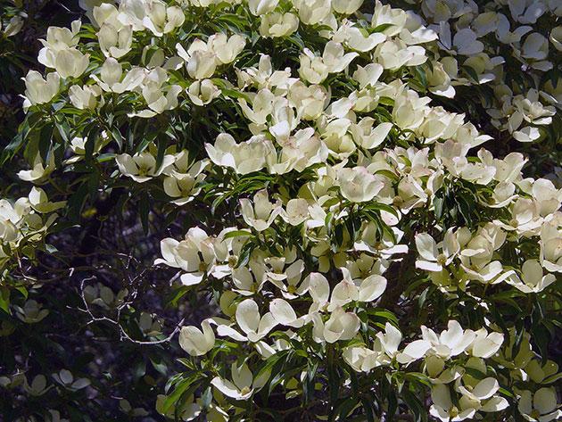 дерен звичайний цвіте фото