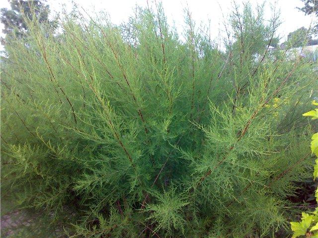 зелений кущ тамариксу фото