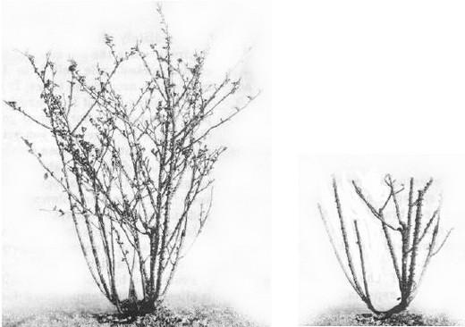 Троянда до і після обрізки