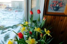 Вирощувати тюльпани і нарциси в квартирі - це просто!