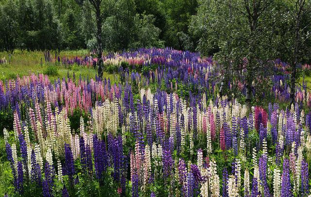 Люпин в саду природного стилю