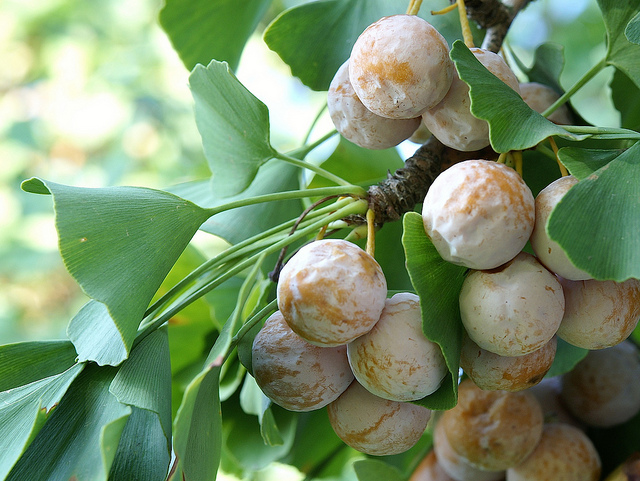 Жіночі дерева Гінкго утворюють плоди - кістянки